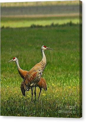 Canvas Print featuring the photograph Sandhill Cranes by Sam Rosen