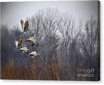 Sandhill Cranes Takeoff Canvas Print