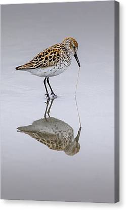 Sandpiper Pull Canvas Print by Sonya Lang
