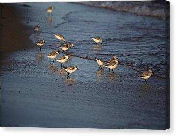 Sandpipers 5 Canvas Print by Allan Morrison