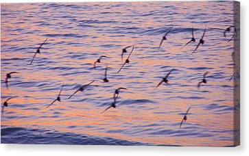 Sandpipers At Sunset Canvas Print by John Wartman