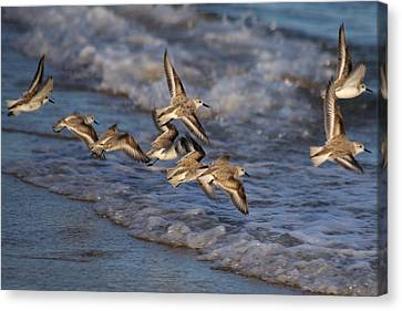 Sandpipers In Flight Canvas Print by Allan Morrison
