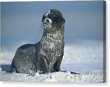 Canvas Print featuring the photograph Sandy Sea Lion by Chris Scroggins