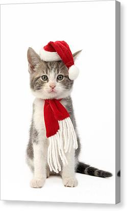 Santa Cat Canvas Print by Greg Cuddiford