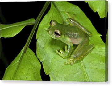 Santa Cecilia Glass Frog (cochranella Canvas Print by Pete Oxford