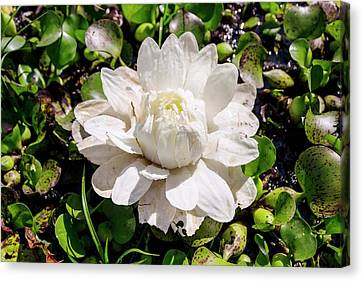 Santa Cruz Water Lily (victoria Cruziana) Canvas Print by Paul Williams