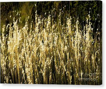 Santa Fe Grasses Canvas Print