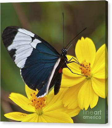 Sapho Longwing Yellow Oriented Canvas Print by Heiko Koehrer-Wagner