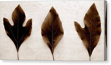Sassafras Leaves In Sepia Canvas Print by Michelle Calkins
