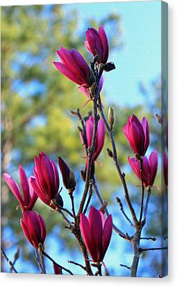 Saucer Magnolia Heaven IIi Canvas Print by Suzanne Gaff