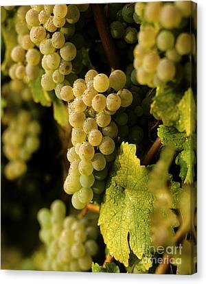 Sauvignon Blanc Cluster Canvas Print by Craig Lovell