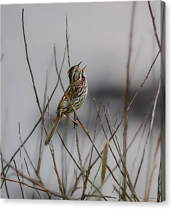 Canvas Print featuring the photograph Savannah Sparrow by Marty Saccone