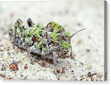 Saw-backed Locust Canvas Print by Peter Chadwick