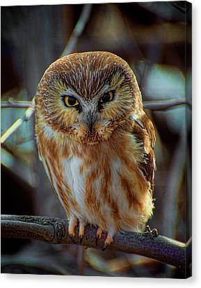 Canvas Print featuring the photograph Saw-whet Owl by Britt Runyon