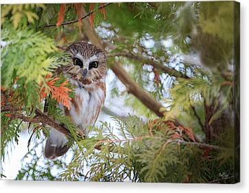 Saw Canvas Print - Saw-whet Owl by Everet Regal