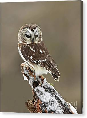 Saw Whet Owl Sleeping In A Winter Forest Canvas Print by Inspired Nature Photography Fine Art Photography