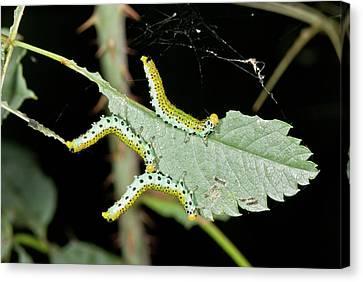 Sawfly Larvae On Rose Leaf Canvas Print