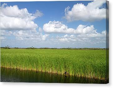 Sawgrass In The Florida Everglades Canvas Print by David R. Frazier