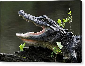 Say Aah - American Alligator Canvas Print by Meg Rousher