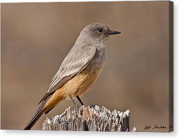 Say's Phoebe On A Fence Post Canvas Print