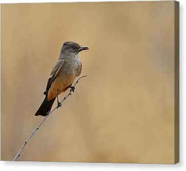 Say's Phoebe Canvas Print by Tony Beck