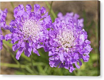 Scabiosa 'butterfly Blue' Flowers Canvas Print by Ann Pickford