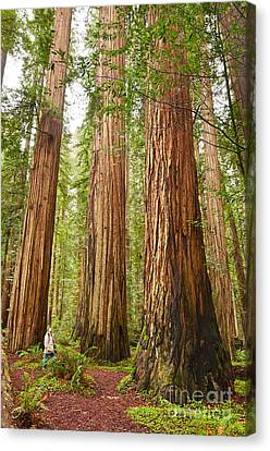 Redwoods Canvas Print - Scale - The Beautiful And Massive Giant Redwoods Sequoia Sempervirens In Redwood National Park. by Jamie Pham
