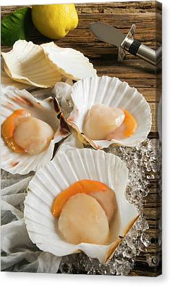 Raw Oyster Canvas Print - Scallop (pecten Jacobaeus by Nico Tondini
