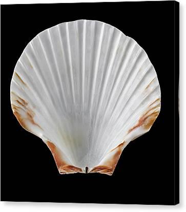 Scallop Shell Canvas Print