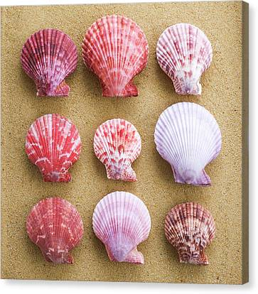Scallop Shells In Rows Canvas Print