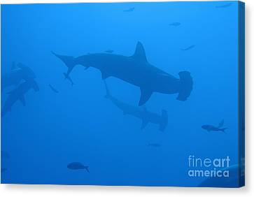 Scalloped Hammerhead Sharks Canvas Print by Sami Sarkis