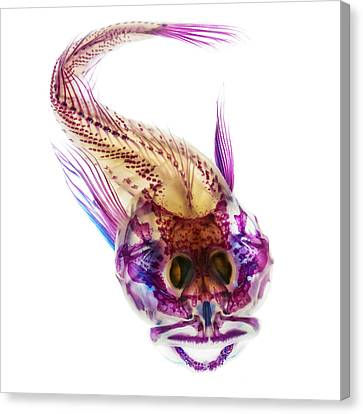 Scalyhead Sculpin Canvas Print