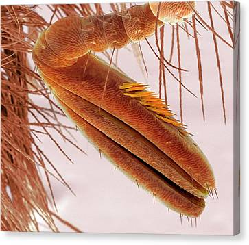 Sem Canvas Print - Scarab Beetle Antenna by Steve Gschmeissner
