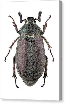 Cut-outs Canvas Print - Scarab Beetle by F. Martinez Clavel