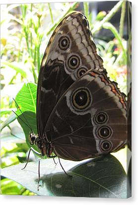 Scarce Morpho Canvas Print by Jennifer Wheatley Wolf