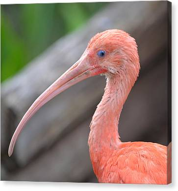 Scarlet Ibis 1 Canvas Print by Richard Bryce and Family