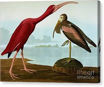 Scarlet Ibis Canvas Print by John James Audubon