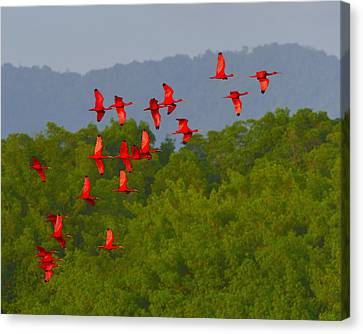 Mangrove Forest Canvas Print - Scarlet Ibis by Tony Beck