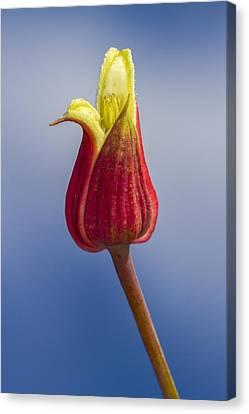 Scarlet Leatherflower Canvas Print
