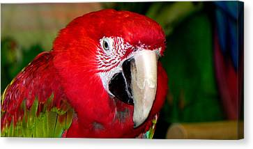 Canvas Print featuring the photograph Scarlet Macaw by Bill Swartwout