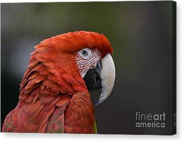 Scarlet Macaw Canvas Print by David Millenheft
