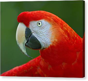 Rare Bird Canvas Print - Scarlet Macaw by Tony Beck