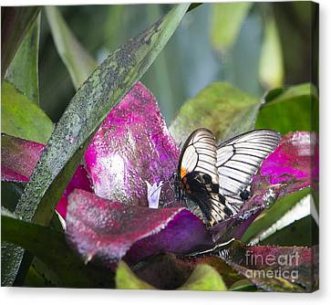 Scarlet Mormon Canvas Print by Dorothy Hilde