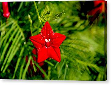 Scarlet Morning Glory - Horizontal Canvas Print by Ramabhadran Thirupattur