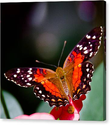 Scarlet Peacock Butterfly - Anartia Amathea Canvas Print by David Patterson