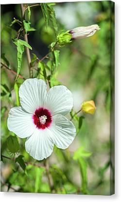 Scarlet Rose-mallow, Austin, Texas, Usa Canvas Print