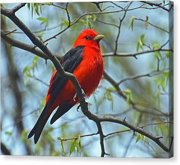 Scarlet Tanager In The Forest Canvas Print