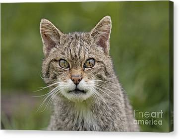 Scary Scottish Wildcat Canvas Print by Philip Pound