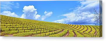 Scenic View Of Vineyard In Springtime Canvas Print