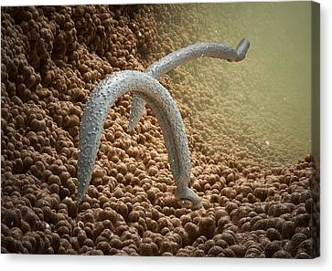 Schistosome Fluke Worms, Artwork Canvas Print by Science Photo Library